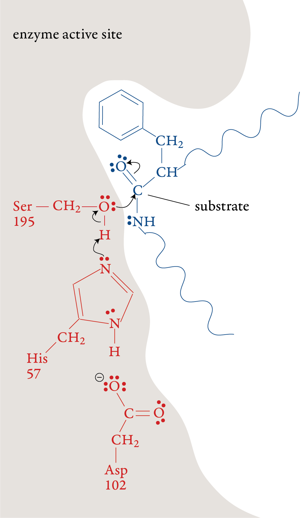 Image of first step in the chymotrypsin