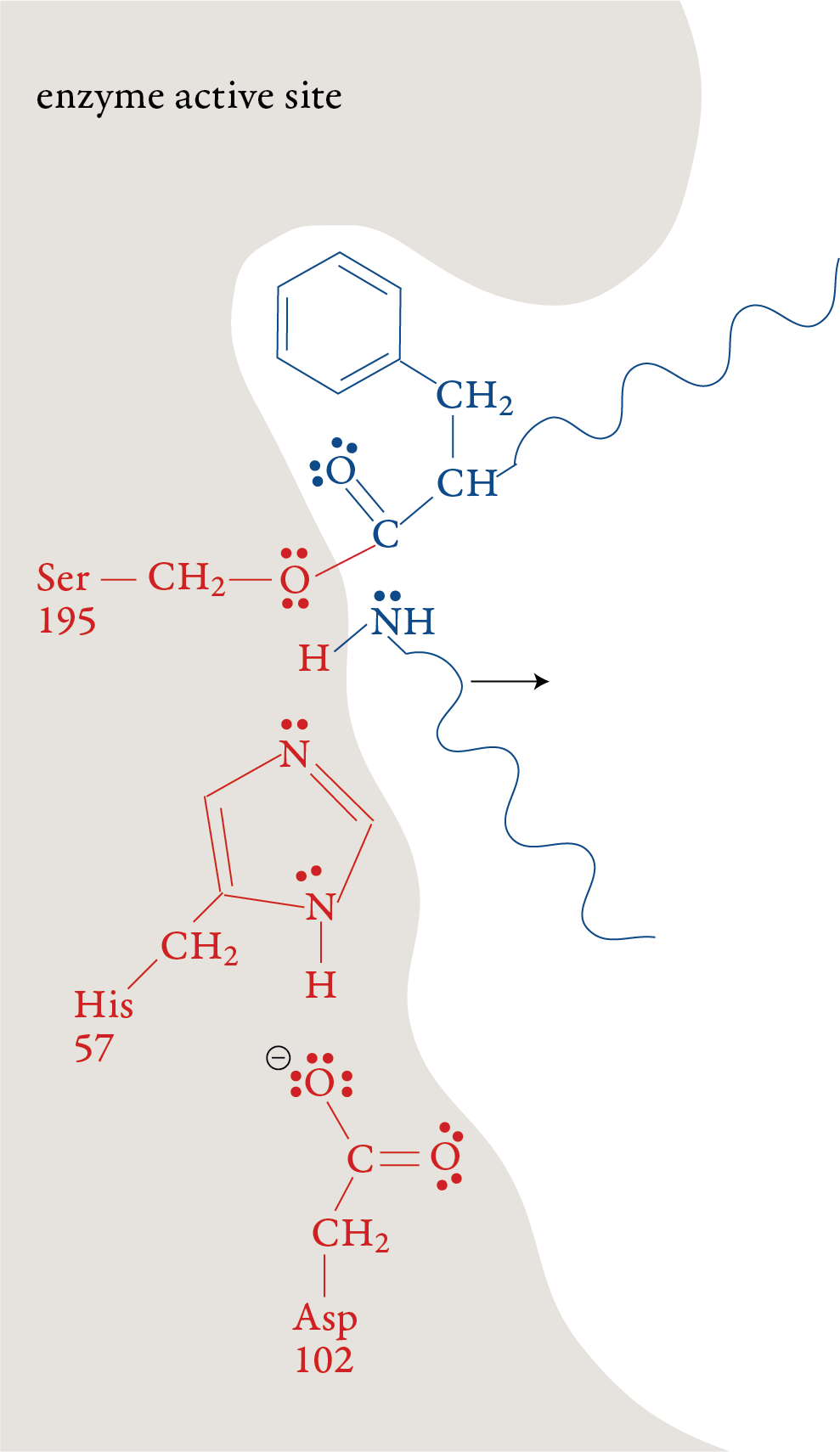 Image of the third step in the chymotrypsin mechanism
